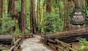 A path surrounded by redwoods in Muir Woods in California
